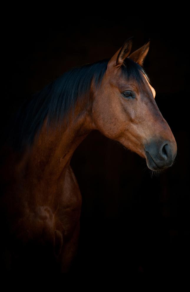 equltrasound horse
